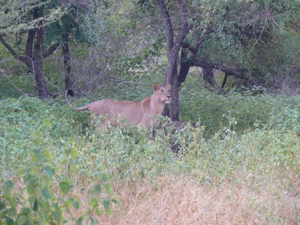 Asiatic lioness in the Gir Forest