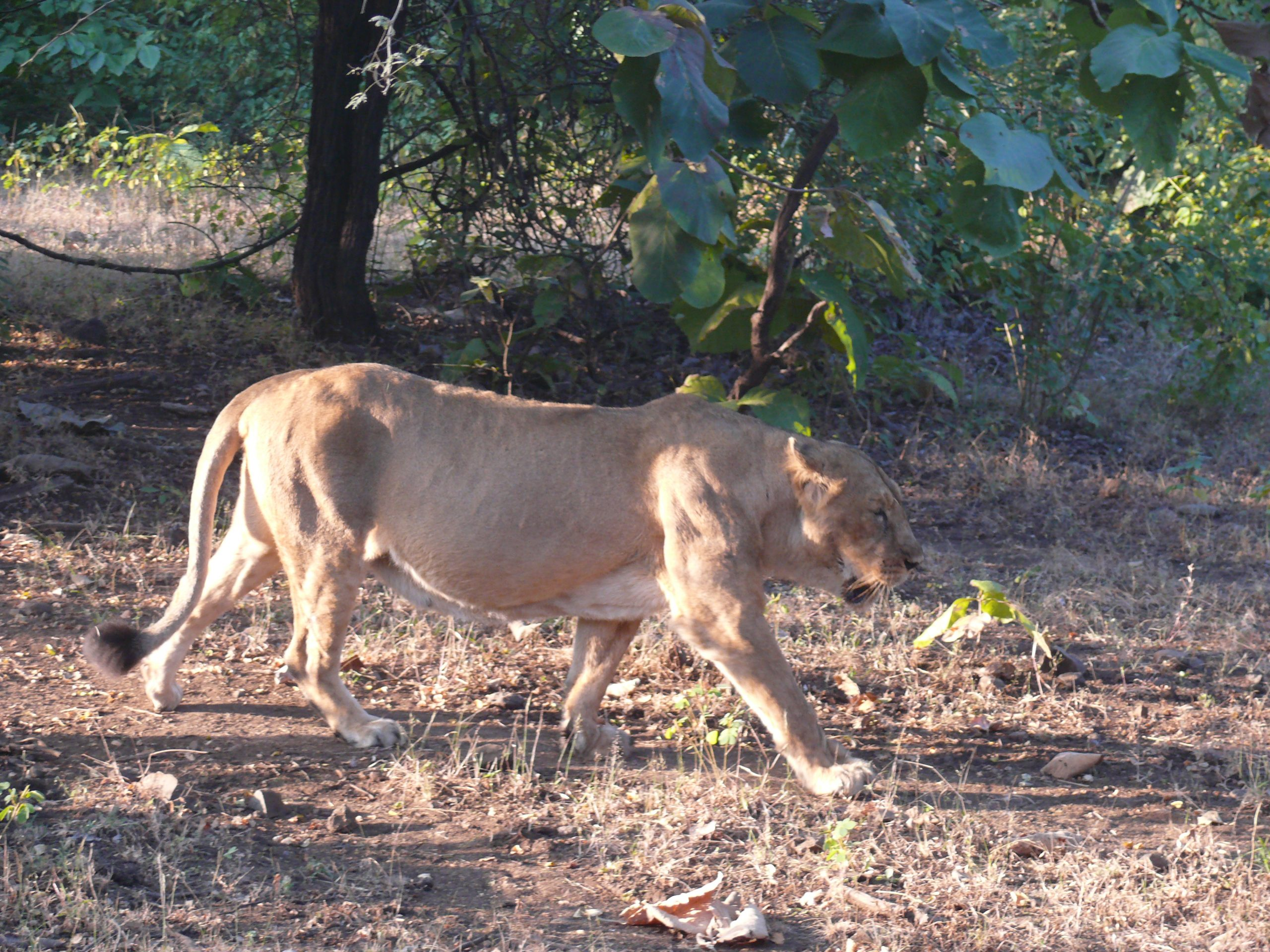 Asiatic Lion, Gir