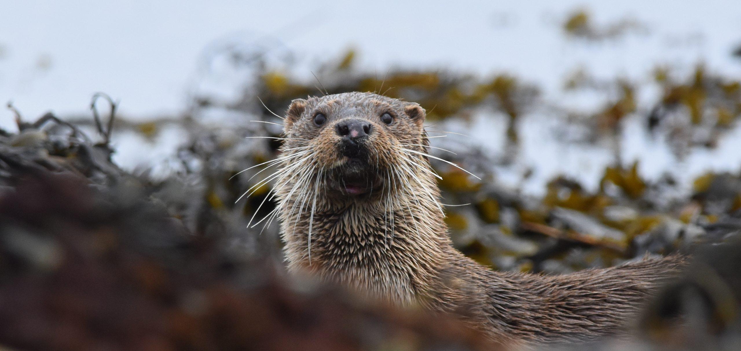 Otter Isle of Mull